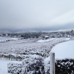 Snow on the vines…